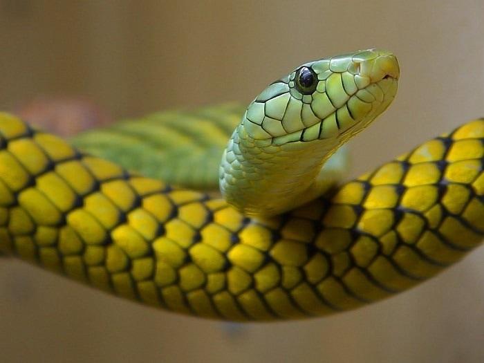 Trong 12 con giáp, Tỵ là con giáp đứng hàng ngũ thứ 6, tương ứng với con rắn